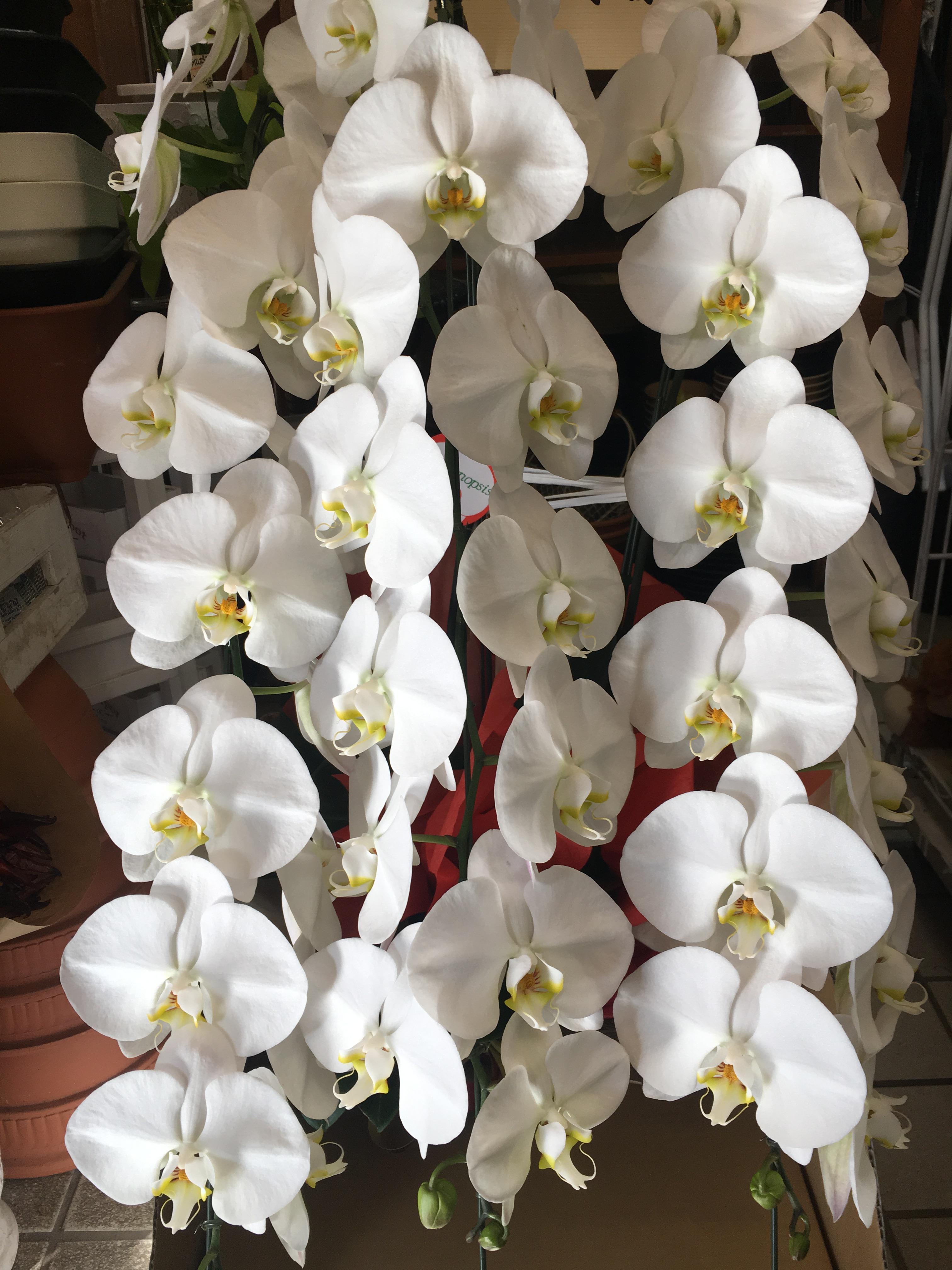 【ナオ花屋の納品事例194】横浜市新山下の法人企業様へ胡蝶蘭を即日当日配達しました!