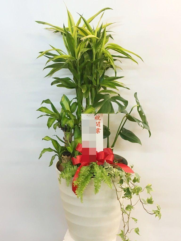 【ナオ花屋の納品事例237】横浜市関内の法人企業様へ観葉植物を配達しました!