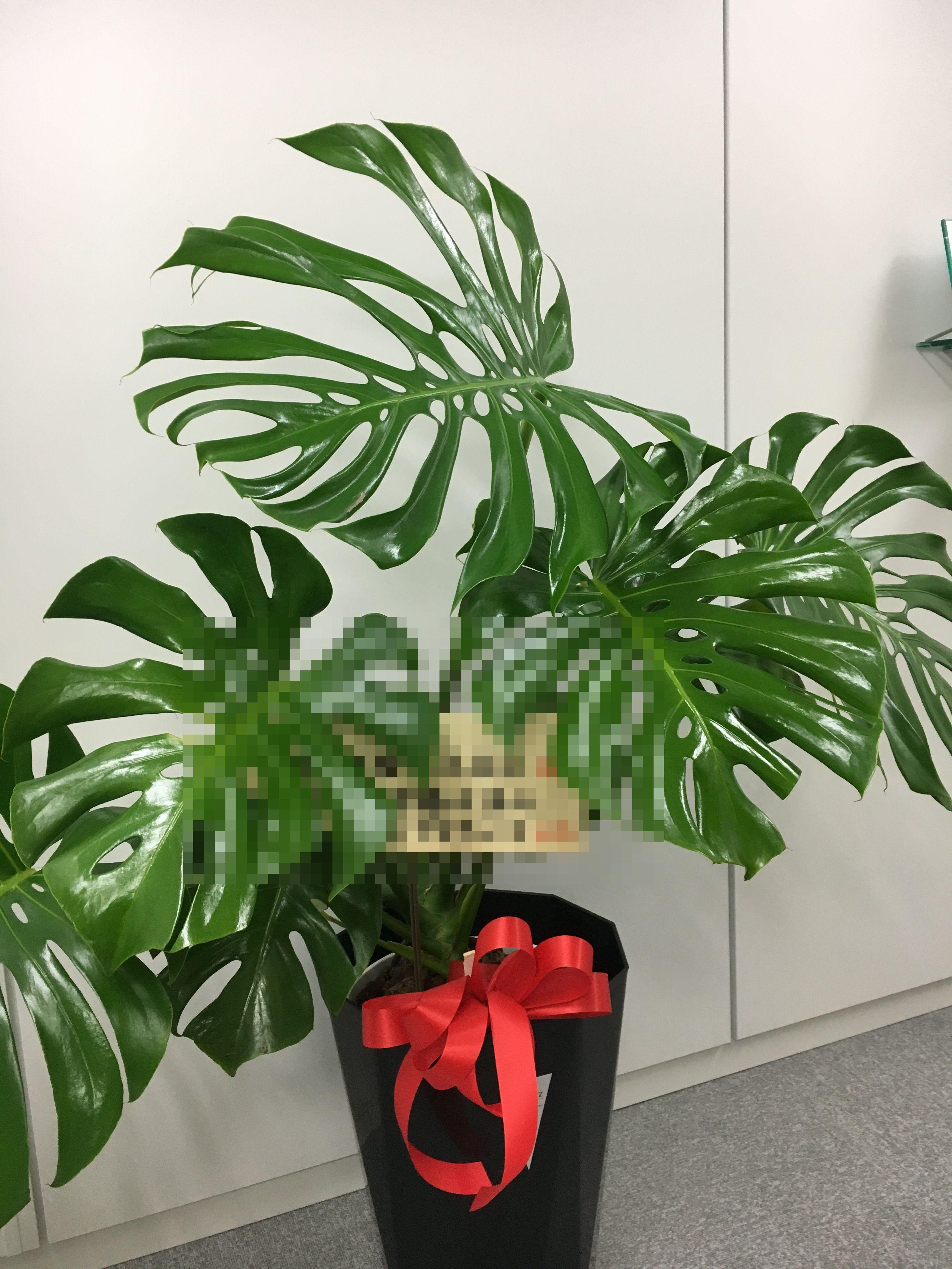 横浜市関内へ観葉植物を即日当日配達しました!【横浜花屋の花束・スタンド花・胡蝶蘭・バルーン・アレンジメント配達事例288】