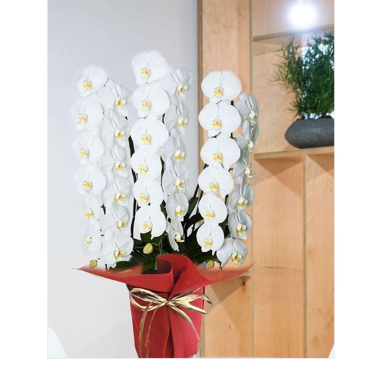 ハイグレード白3本立胡蝶蘭