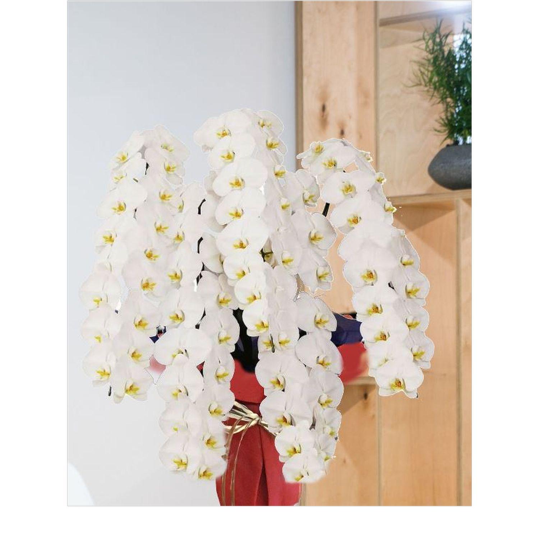 ハイグレード白5本立胡蝶蘭