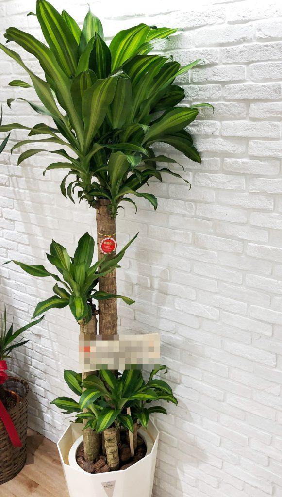 横浜市金港町へ観葉植物を当日即日配達しました!【横浜花屋の花束・スタンド花・胡蝶蘭・バルーン・アレンジメント配達事例355】