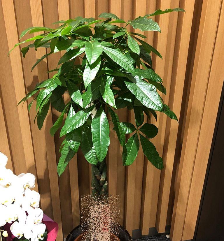 横浜市関内へ観葉植物を即日当日配達しました。【横浜花屋の花束・スタンド花・胡蝶蘭・バルーン・アレンジメント配達事例532】