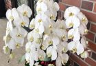 横浜市西区ハマボールへスタンド花を配達しました。【横浜花屋の花束・スタンド花・胡蝶蘭・バルーン・アレンジメント配達事例588】