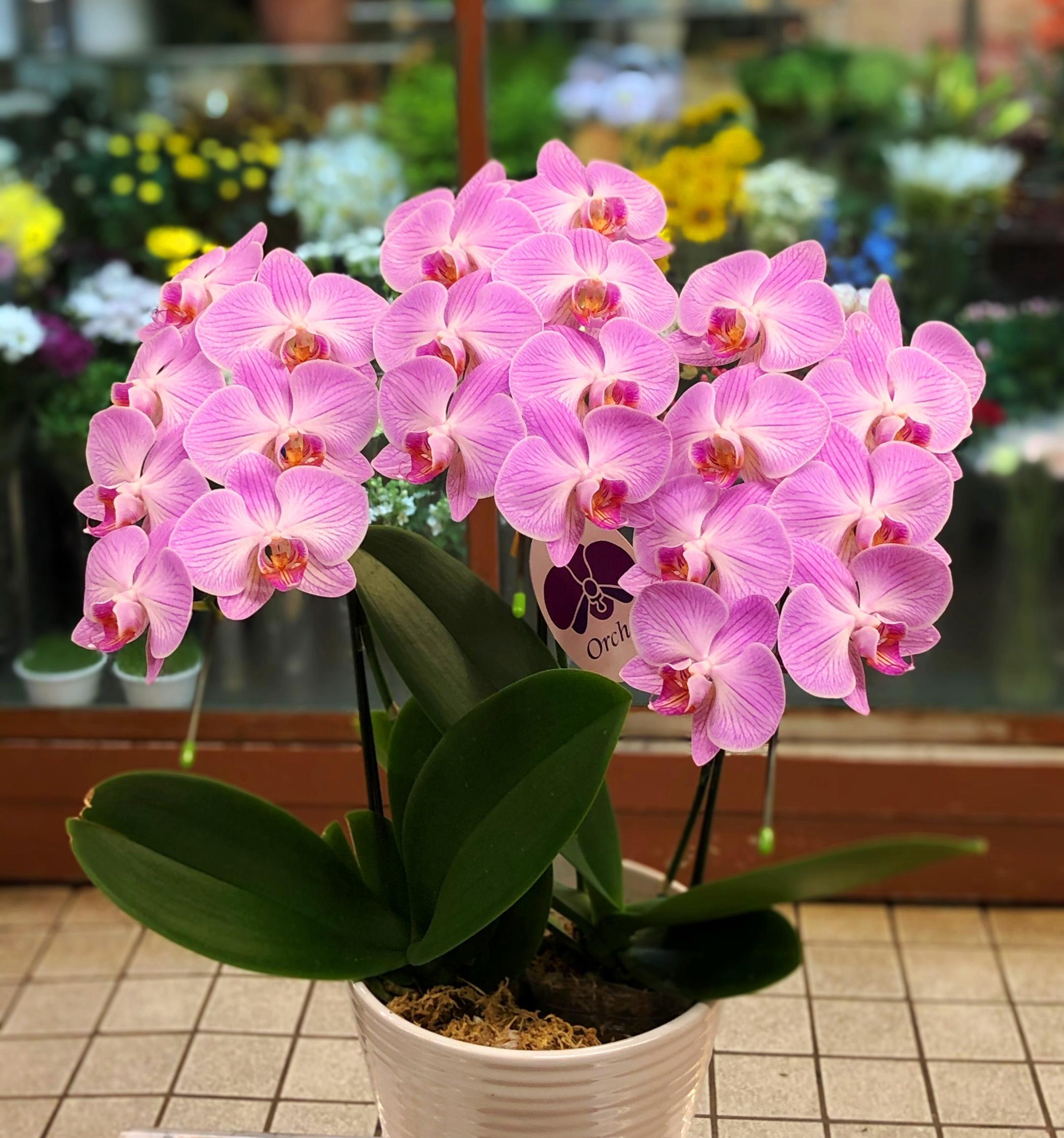 横浜市関内へ胡蝶蘭を即日当日配達させていただきました。【横浜花屋の花束・スタンド花・胡蝶蘭・バルーン・アレンジメント配達事例684】
