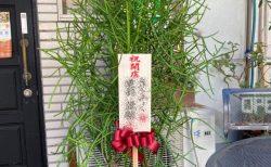 横浜市港北区へ観葉植物を即日当日配達しました。【横浜花屋の花束・スタンド花・胡蝶蘭・バルーン・アレンジメント配達事例697】