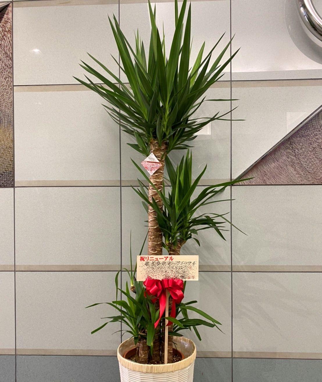 横浜市港北区新横浜へ観葉植物を配達しました。【横浜花屋の花束・スタンド花・胡蝶蘭・バルーン・アレンジメント配達事例720】