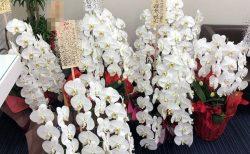 横浜市みなとみらいへ胡蝶蘭を配達しました。【横浜花屋の花束・スタンド花・胡蝶蘭・バルーン・アレンジメント配達事例786】