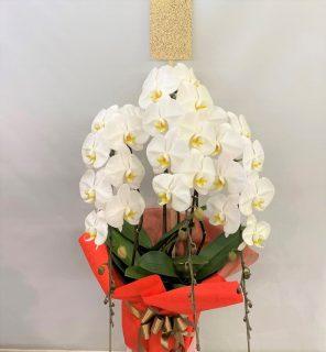 横浜市藤棚町へ胡蝶蘭を配達しました。【横浜花屋の花束・スタンド花・胡蝶蘭・バルーン・アレンジメント配達事例891】