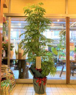 横浜市へ観葉植物を即日当日配達しました。【横浜花屋の花束・スタンド花・胡蝶蘭・バルーン・アレンジメント配達事例946】